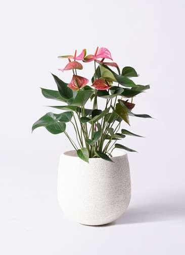 観葉植物 アンスリウム 6号 ピンクチャンピオン エコストーンwhite 付き
