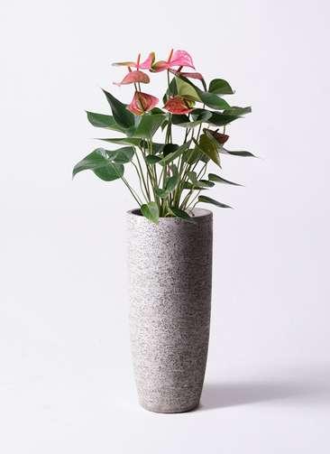 観葉植物 アンスリウム 6号 ピンクチャンピオン エコストーントールタイプ Gray 付き