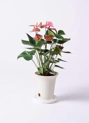 観葉植物 アンスリウム ピンクチャンピオン 6号 プラスチック鉢