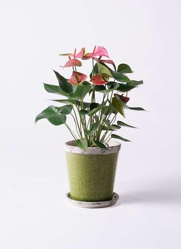 観葉植物 アンスリウム 6号 ピンクチャンピオン アンティークテラコッタGreen 付き