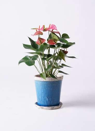 観葉植物 アンスリウム ピンクチャンピオン 6号アンティークテラコッタBlue 付き
