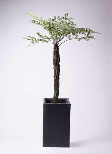 観葉植物 ヘゴ 10号 セドナロング 墨 付き