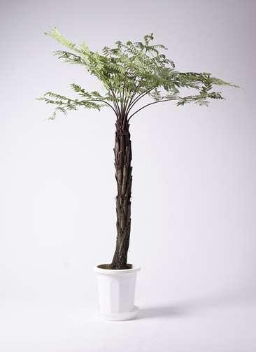 観葉植物 ヘゴ 10号 プラスチック鉢