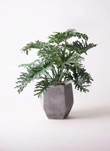 観葉植物 セローム ヒトデカズラ 8号 ファイバークレイ Gray 付き