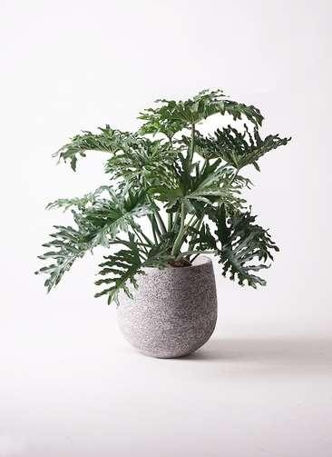 観葉植物 セローム ヒトデカズラ 8号 エコストーンGray 付き