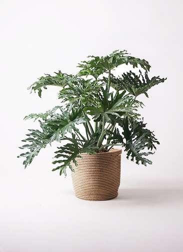 観葉植物 セローム ヒトデカズラ 8号 リブバスケットNatural 付き
