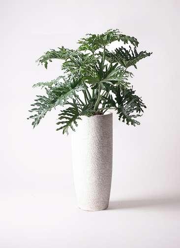 観葉植物 セローム ヒトデカズラ 8号 エコストーントールタイプ white 付き