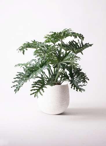 観葉植物 セローム ヒトデカズラ 8号 エコストーンwhite 付き