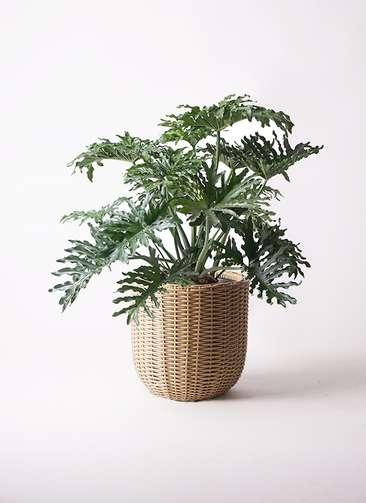 観葉植物 セローム ヒトデカズラ 8号 ウィッカーポットエッグ ベージュ 付き