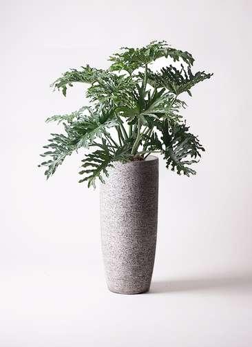 観葉植物 セローム ヒトデカズラ 8号 エコストーントールタイプ Gray 付き