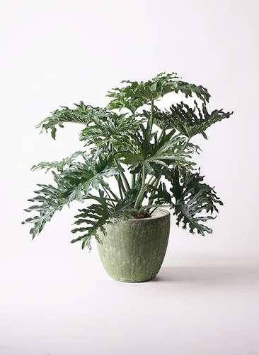 観葉植物 セローム ヒトデカズラ 8号 アビスソニアミドル 緑 付き