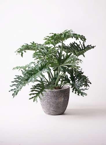 観葉植物 セローム ヒトデカズラ 8号 アビスソニアミドル 灰 付き