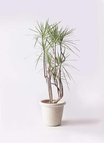 観葉植物 コンシンネ ホワイポリー 8号 曲り ビアスリムス 白 付き