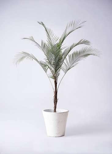 観葉植物 ヒメココス 8号 フォリオソリッド 白 付き