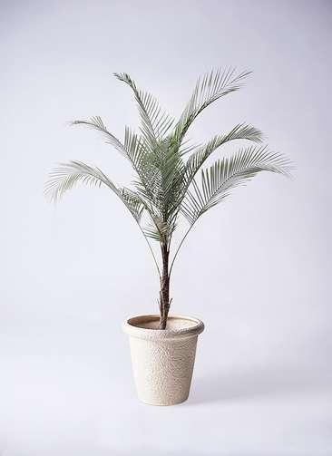 観葉植物 ヒメココス 8号 ビアスリムス 白 付き