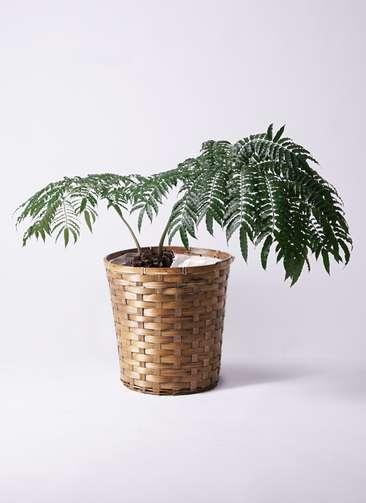 観葉植物 リュウビンタイ 8号 竹バスケット 付き