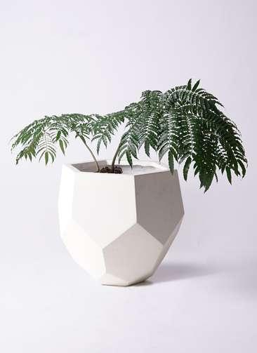 観葉植物 リュウビンタイ 8号 ポリゴヘクサ 白 付き