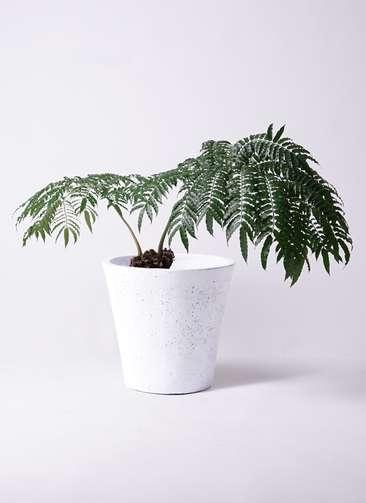 観葉植物 リュウビンタイ 8号 フォリオソリッド 白 付き