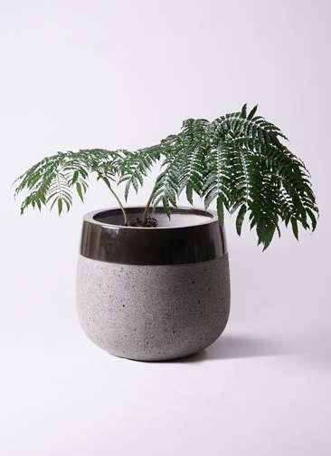 観葉植物 リュウビンタイ 8号 ファイバーストーンタウルス 黒 付き