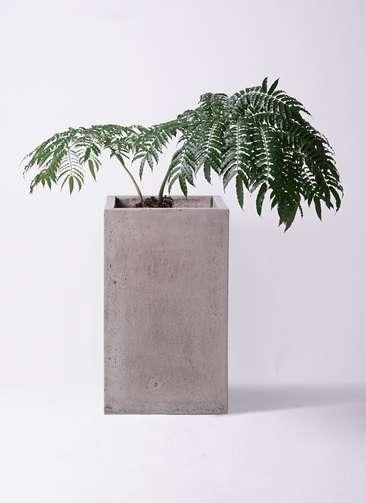 観葉植物 リュウビンタイ 8号 セドナロング グレイ 付き