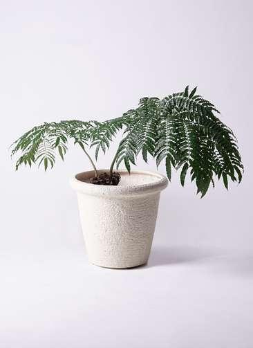 観葉植物 リュウビンタイ 8号 ビアスリムス 白 付き