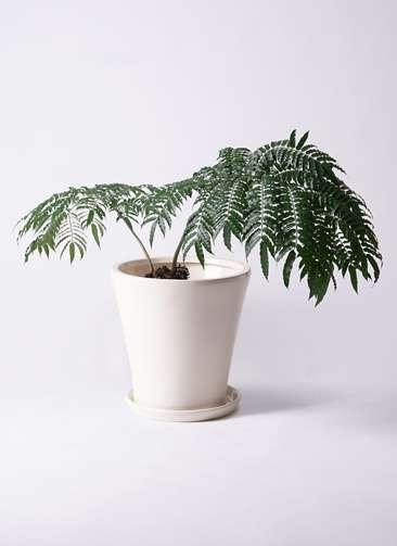 観葉植物 リュウビンタイ 8号 サブリナ 白 付き