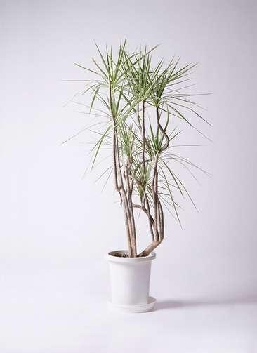 観葉植物 コンシンネ ホワイポリー 8号 曲り プラスチック鉢