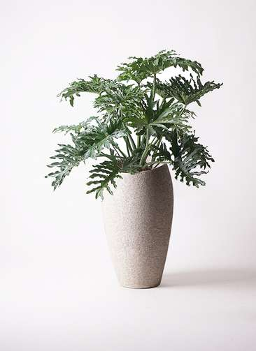 観葉植物 セローム ヒトデカズラ 8号 エコストーントールタイプ Light Gray 付き