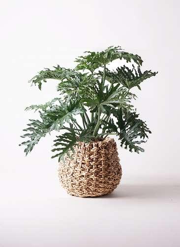 観葉植物 セローム ヒトデカズラ 8号 ラッシュバスケット Natural 付き