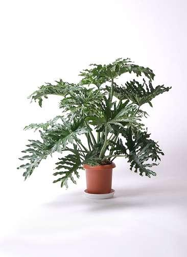 観葉植物 セローム ヒトデカズラ 8号 プラスチック鉢