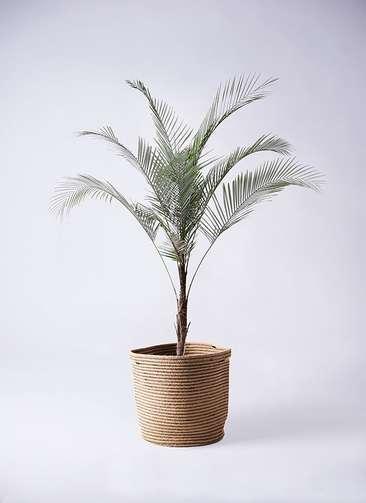観葉植物 ヒメココス 8号 リブバスケットNatural 付き