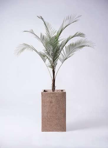 観葉植物 ヒメココス 8号 セドナロング グレイ 付き