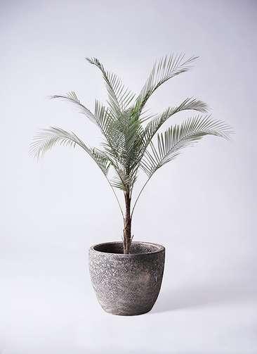 観葉植物 ココスヤシ ヤタイヤシ ひめここす 8号 アビスソニアミドル 灰 付き