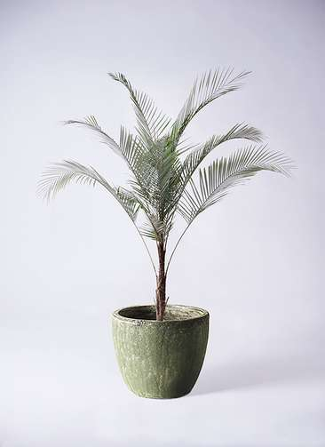 観葉植物 ココスヤシ ヤタイヤシ ひめここす 8号 アビスソニアミドル 緑 付き