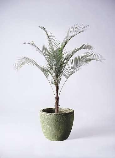 観葉植物 ヒメココス 8号 アビスソニアミドル 緑 付き