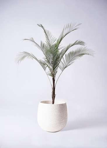 観葉植物 ヒメココス 8号 エコストーンwhite 付き