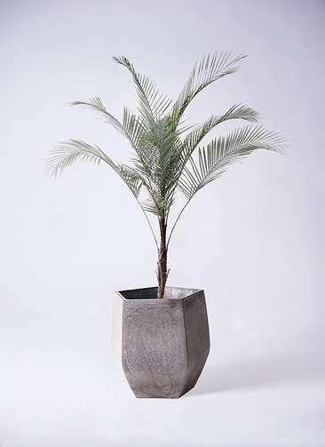 観葉植物 ココスヤシ ヤタイヤシ ひめここす 8号 ファイバークレイ Gray 付き