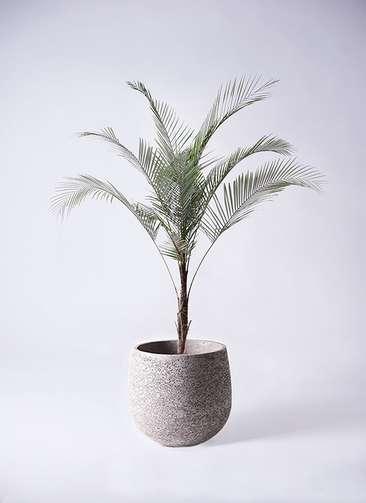 観葉植物 ヒメココス 8号 エコストーンGray 付き