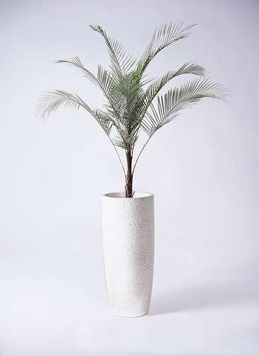 観葉植物 ココスヤシ ヤタイヤシ ひめここす 8号 エコストーントールタイプ white 付き
