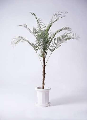 観葉植物 ココスヤシ ヤタイヤシ ひめここす 8号 プラスチック鉢