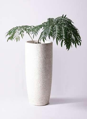 観葉植物 リュウビンタイ 8号 エコストーントールタイプ white 付き
