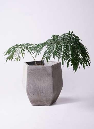 観葉植物 リュウビンタイ 8号 ファイバークレイ Gray 付き