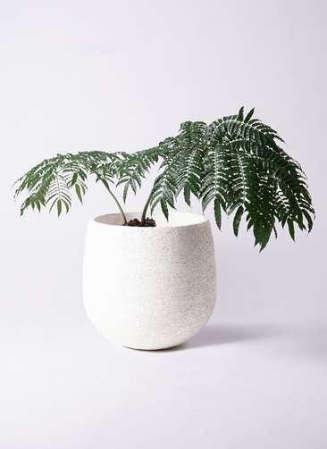 観葉植物 リュウビンタイ 8号 エコストーンwhite 付き