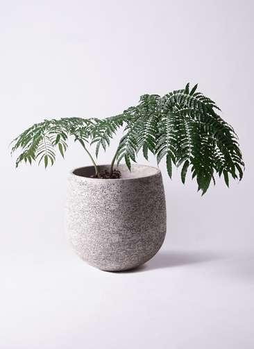 観葉植物 リュウビンタイ 8号 エコストーンGray 付き