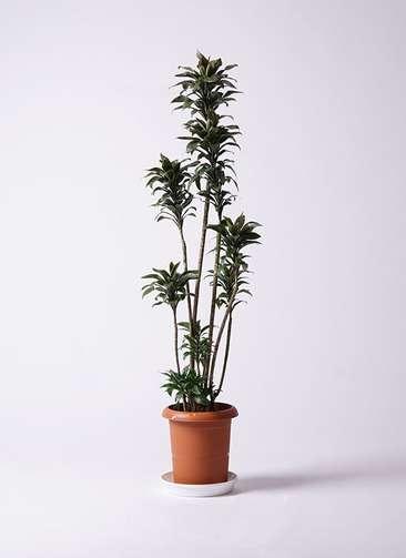 観葉植物 ドラセナ パープルコンパクタ 8号 プラスチック鉢