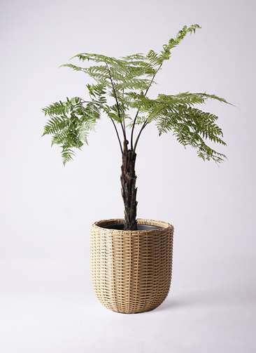観葉植物 ヘゴ 8号 ウィッカーポットエッグ ベージュ 付き