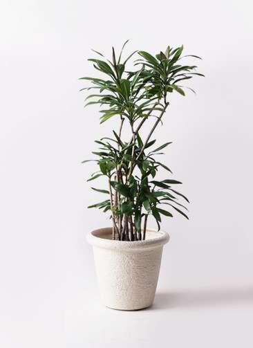 観葉植物 ドラセナ グローカル 8号 ビアスリムス 白 付き