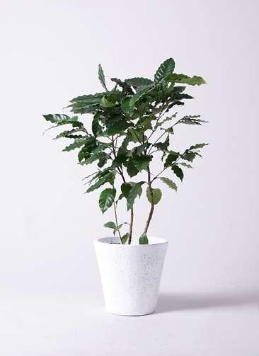 観葉植物 コーヒーの木 8号 フォリオソリッド 白 付き