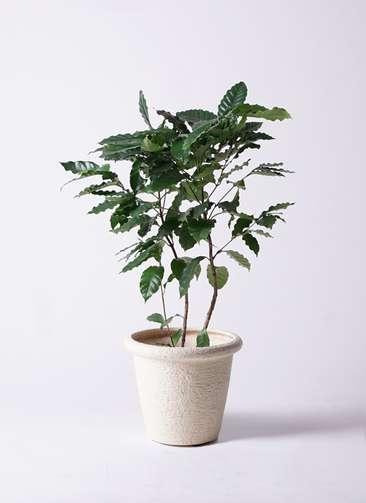 観葉植物 コーヒーの木 8号 ビアスリムス 白 付き