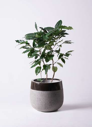 観葉植物 コーヒーの木 8号 ファイバーストーンタウルス 黒 付き